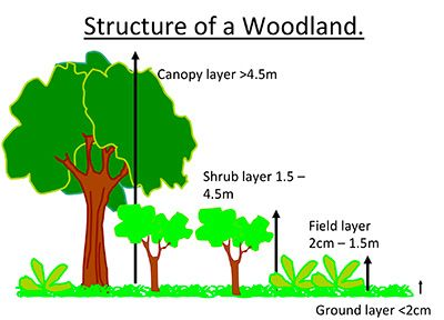 Diagrams Of The Forest Layers Of A Broadleaved Woodland