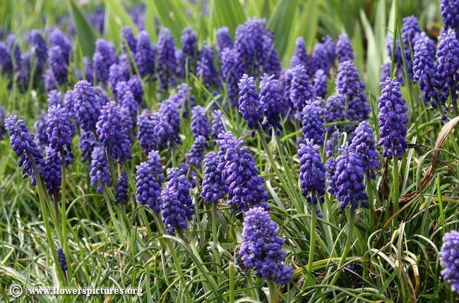 Grape Hyacinth.  Location: front of house.  grape-hyacinth_23.jpg (650×430)