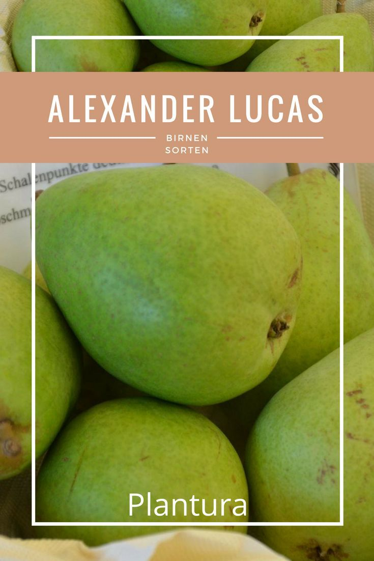Die Birne Alexander Lucas schmeckt herrlich süß und aromatisch: Ab Ende September können Sie das mild-süße Aroma der leuchtend gelb gefärbten Birnen genießen.