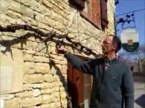 Tailler une vigne en treille
