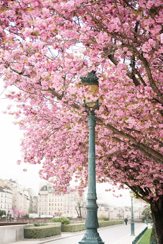 April in Paris, Cherry Blossoms at Notre Dame, French Home Decor, $30.00