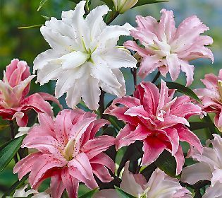 Robertas 4-pc. Quarter Century Quadrupled Oriental Lily Collection