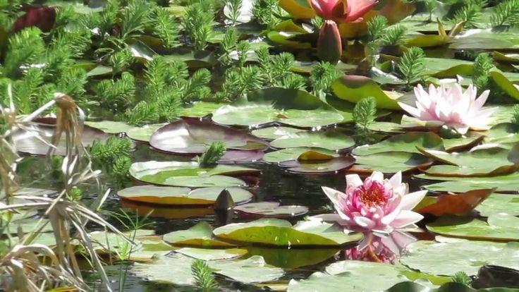24 best creare il proprio giardino con lavande piante for Laghetto con ninfee