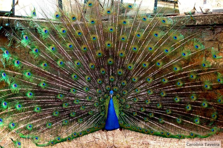 #pavao #peacock