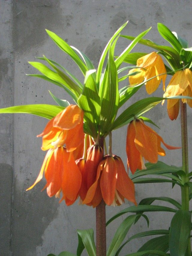 Рябчик Эдуарда (Fritillaria eduardii)