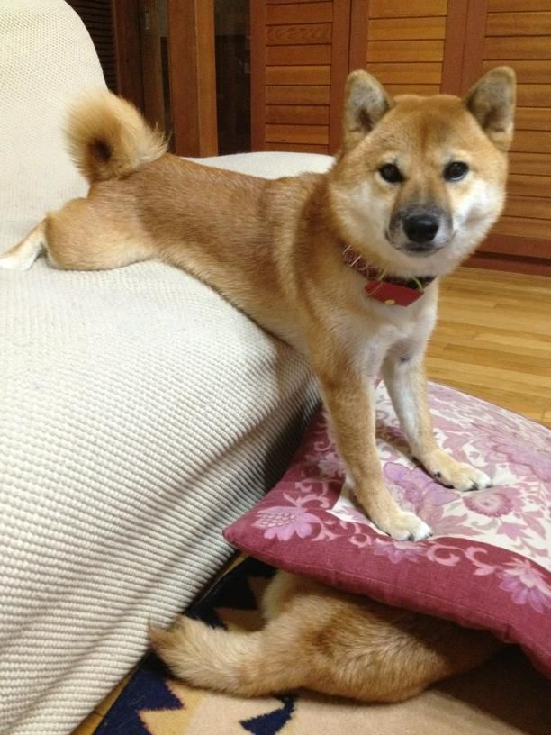 Twitter / Recent images by @mesomeso1009 #shibainu