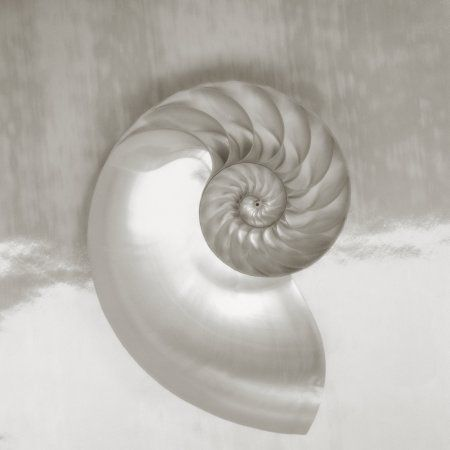 Pearl Nautilus Shell Half Showing Chambers And Spiral (Sepia Photograph) Canvas Art - Kate Turning and Tom Gibson Design Pics (24 x 24)