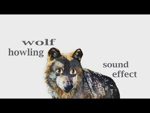 How A Wolf Howling - Sound Effect - Animation