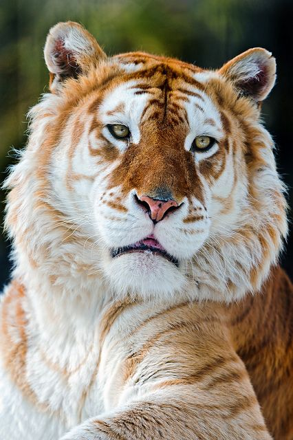 A rare, gorgeous golden tiger.  Ah, to be so beautiful yet so revered. Is it all worth it?