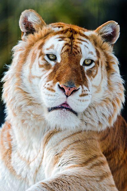 A rare, gorgeous golden tiger