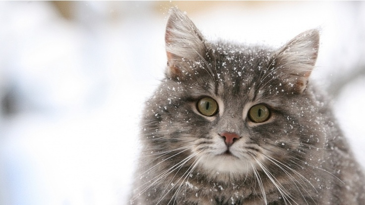 cat: Grey Cat, Beautiful Cat, Cute Cat, Norwegian Forests Cat, Fat Cat, Day Quotes, Winter Coats, Baby Cat, Cat Lady