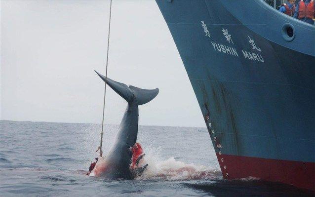 Νήσοι Φερόε: Σφαγή 295 φαλαινών στο ετήσιο παραδοσιακό κυνήγι