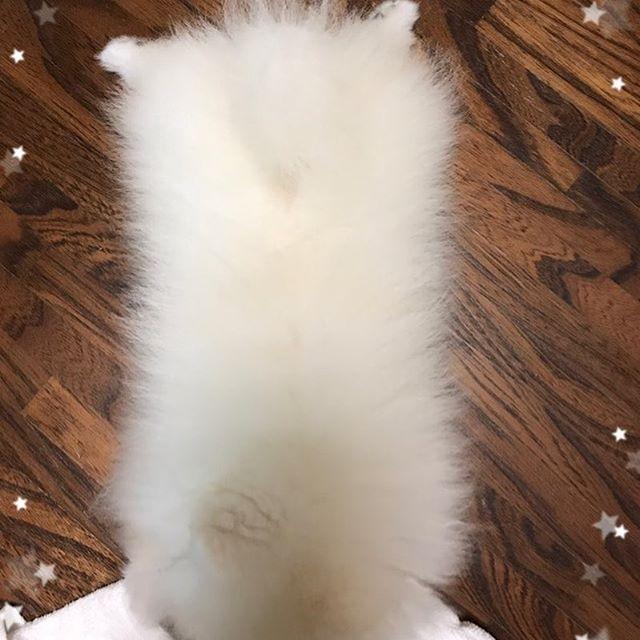 白いモップ😄🐾#ポメラニアン#pomeranian#わんこ#愛犬#かわいい#かわいい顔のポメラニアン#ポメラニアン部#いぬすたぐらむ#ポメが世界一かわいい#ポメラニアン大好き#犬好き#マメ柴カット#仔犬#ホワイト