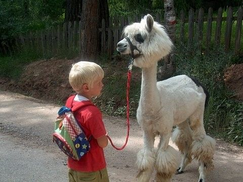 I will have a llama someday. And I will shave him to look like a poodle. Oh yes, I will. (Llama trekking in Sweden)