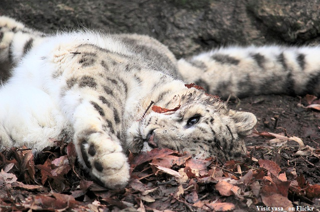 Snow leopard rollin' in some leaves.