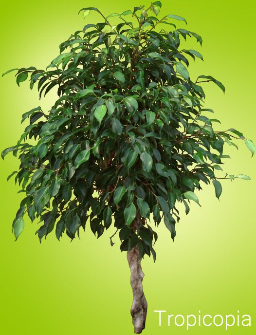 Ficus Tree Houseplant Care Tips Houseplant411 Com