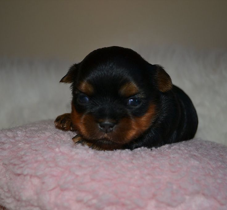 Teacup Yorkies for Sale| Parti Yorkies for Sale| Teacup Parti Yorkies| Teacup Puppies for Sale| Yorkies for Sale in TN