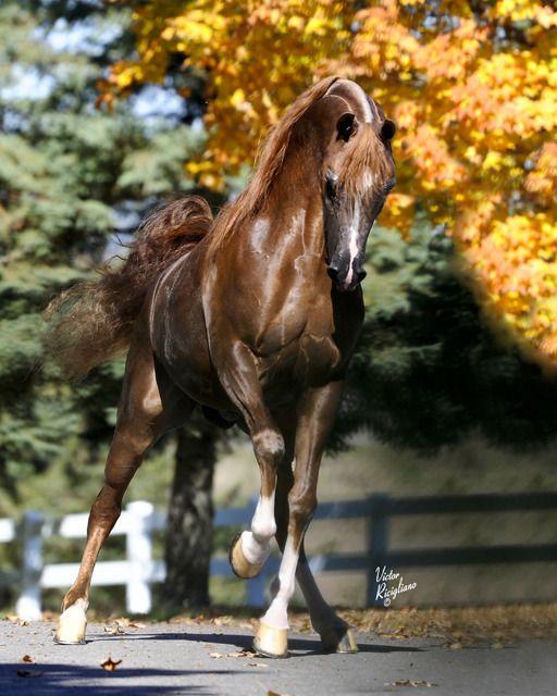 RHR Marcedes (*Marwan Al Shaq x Elegant Dream) Don Manuel Farms