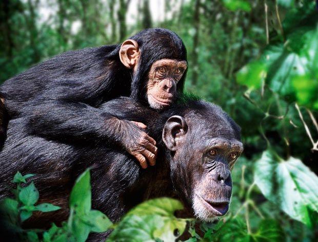 Chimpanzees! One of the wonders of the Ugandan wilderness