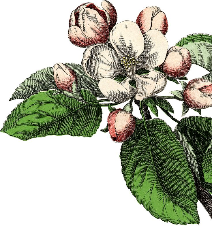 Gorgeous Vintage Apple Blossom Image!