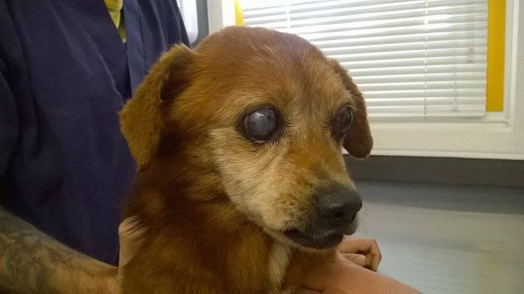 Foi levado para o HVUTAD e, para além de estar cego, foi-lhe diagnosticado uma doença degenerativa articular que lhe provoca muitas dores ao andar. E
