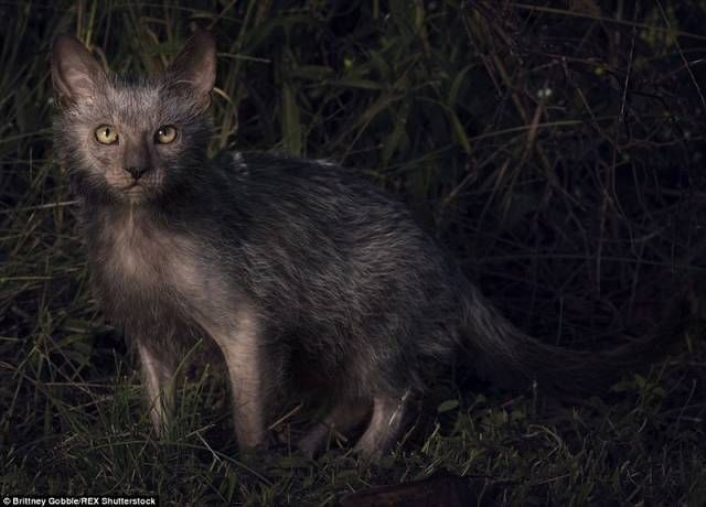 The Lykoi, a mix between Cat and wolf