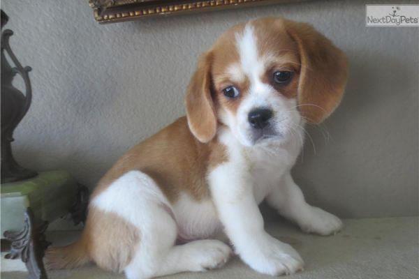 Beaglier puppy for sale near San