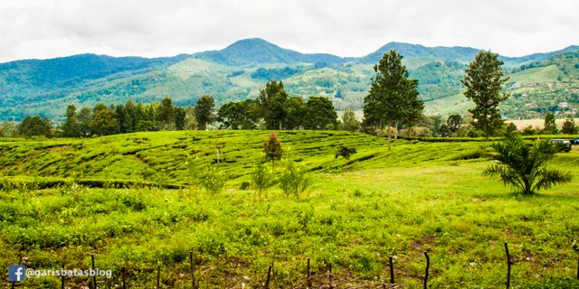 Hamparan Hijau Kebun Teh di Gunung Mas, Puncak Bogor