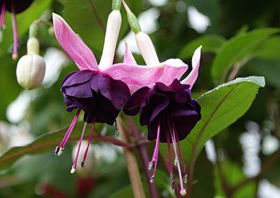 Fuchsia 'MAIK LUIJTEN'   Sehr ausdrucksstarke gefüllte Blüten präsentiert diese außergewöhnliche Fuchsie.