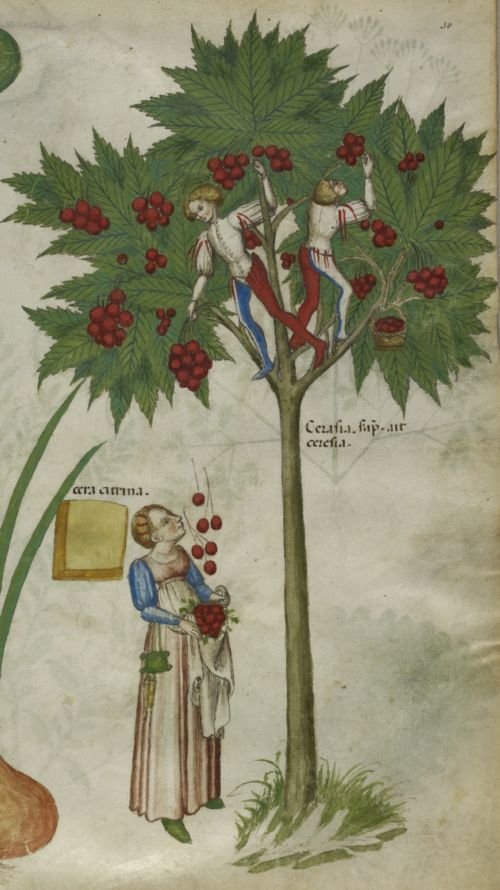 * Detail from a herbal, N. Italy (Lombardy), c. 1440, Sloane MS 4016, f. 30r