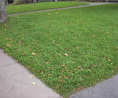 Overseeding your lawn with clover instead of just grass keeps it healthier, fills in bare spots, and requires less water.