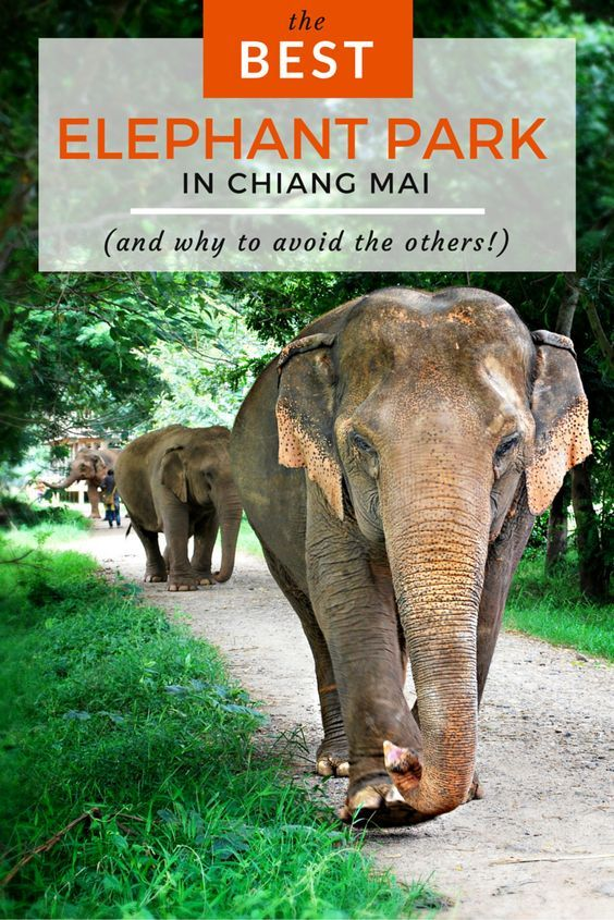 Is riding an elephant in Thailand on your bucket list? It was on mine - until I visited this incredible sanctuary in Chiang Mai and learned the truth behind it.chiang-mai-elephants-w