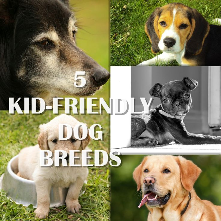 All dogs are amazing! But some dogs are just the perfect companions for little humans! Find out the kid-friendly dog breeds.