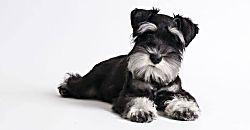 Descubre 5 características de los perros Schnauzer miniatura