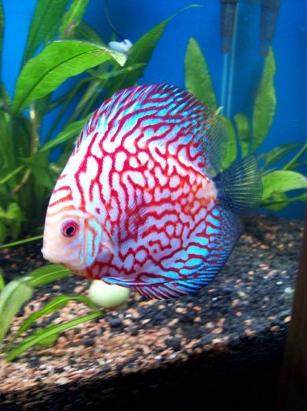 red map pigeon discus