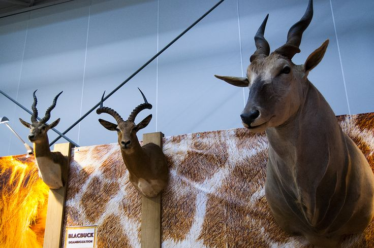 Great Blackbuck and Eland antelope trophies seen during Polish Hunting Fairs - Hubertus EXPO 2015. Hunt beautiful beasts of the wild with us!