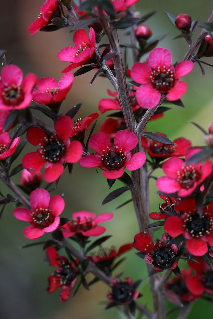 New Zealand Tea-tree [Leptospermum scoparium; Family: Myrtaceae] - Flickr - Photo Sharing!