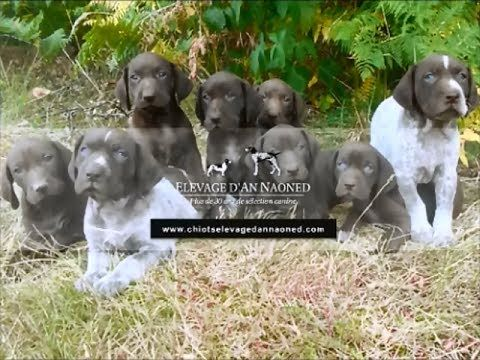 Chiots Braque allemand L.O.F 💜 🎥 Lena du Domaine du Framire (Fille de CHIB Champion du Domaine du Framire) x Hunter (Fils de Prinz vom Theelshof Champion de Travail allemand 2012) 📯 Disponibles   Available 💻 www.chiotselevagedannaoned.com  #braqueallemand #gsp #puppy #chiot #dog #chien #hund #pet #puppylove #pups #cani #deutschkurzhaar #chasse #hunting #jagd #welpen #cutepuppy #birddogoftheday #dogvideo #amourdechien