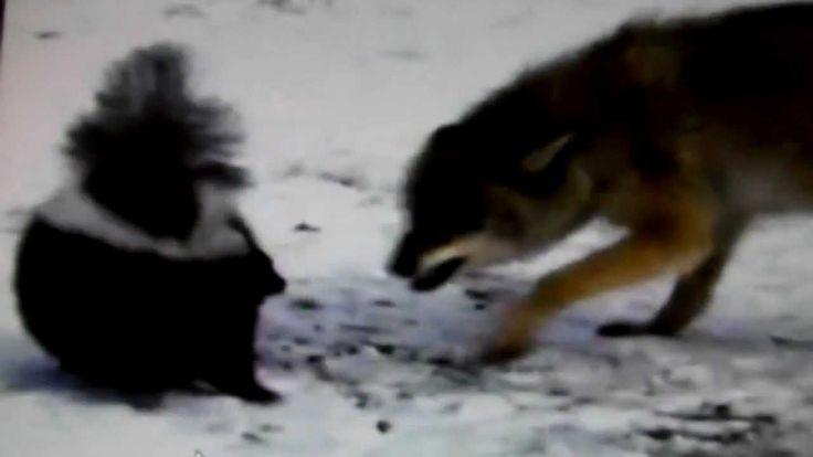 How skunks spray....Day 113...Kinda gross but interesting!