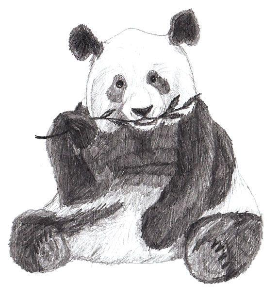 Панда с бамбуком рисунок