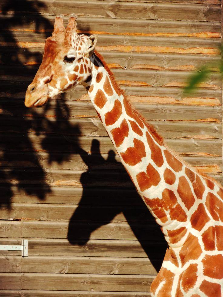 Giraffe, Copenhagen ZOO
