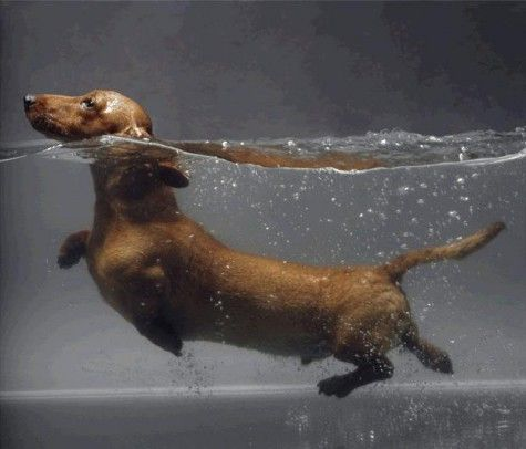 daschund: Keep Swim, Puppies, Weenie Dogs, Dachshund, Weiner Dogs, Wiener Dogs, Sausages Dogs, Hot Dogs