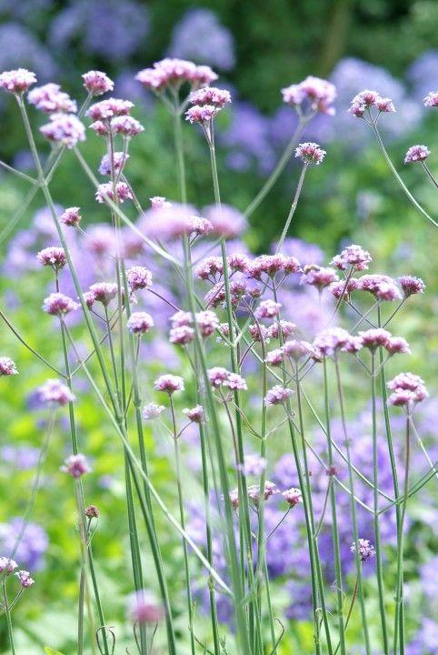 IJzerhard (Verbena bonariensis ). Zon. Zaait zichzelf uit, los karakter, goed tussen andere planten.