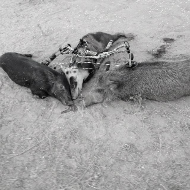 Texas pig hunt, first triple!