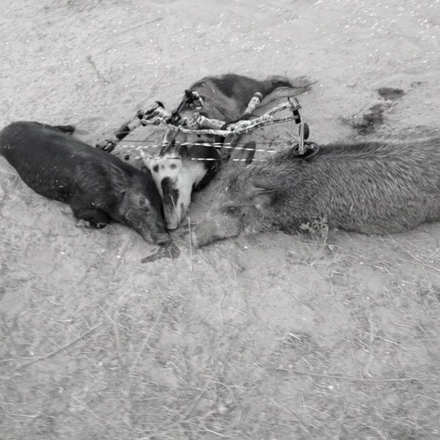 Texas pig hunt, first triple!