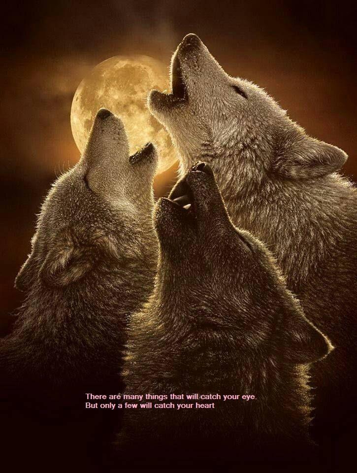 Beautiful wolf pack