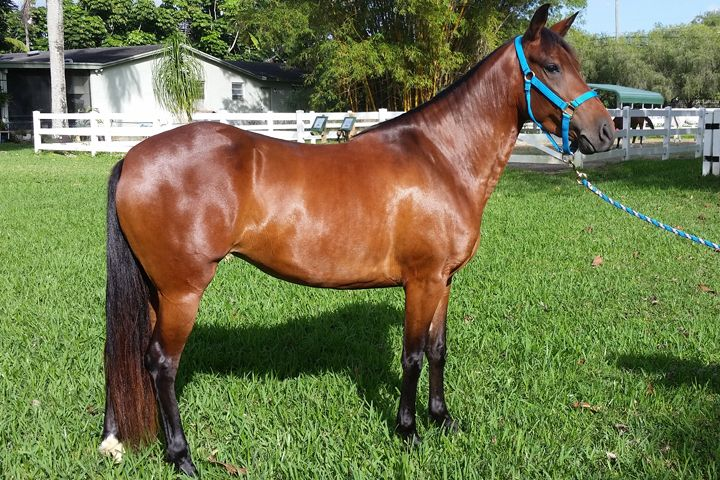 Abby 3 Year Old Bay Paso Fino Filly Available For
