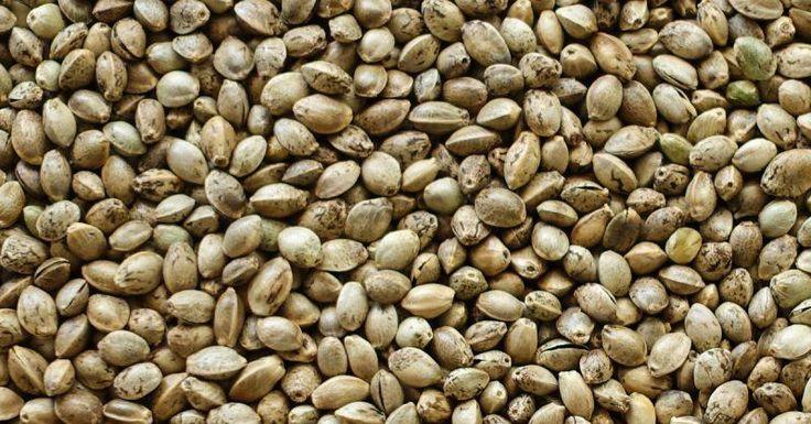 Wiesz, że po zjedzeniu nasion konopi twój organizm zniszczy wolne rodniki, które są przyczyną wielu problemów ze zdrowiem?