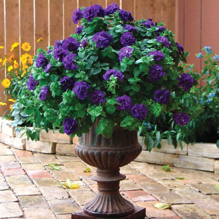 Blue Velvet Double Wave Petunias, so pretty!