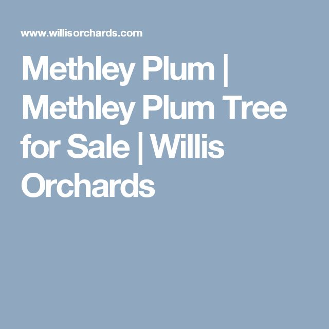 Methley Plum | Methley Plum Tree for Sale | Willis Orchards